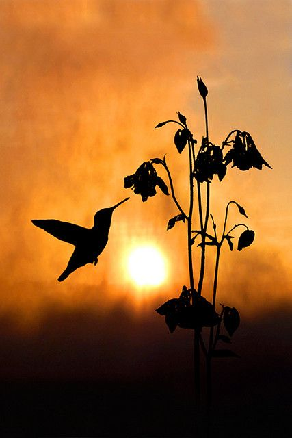 Amazing: Photos, Picture, Humming Birds, Humming-Bird, Hummingbird Silhouette, Art, Sunrise Sunset, Hummingbirds, Animal