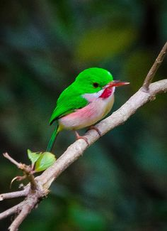 ^Broad-billed Tody