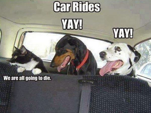 funny animals: Cats, Animals, Car Rides, Dogs, Cars, Pet, Funny Animal