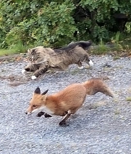 http://cdn.themetapicture.com/media/funny-fox-cat-running-ground.jpg: Cats, Animals, Norwegian Forest Cat, Maine Coon, Pet, Funny, Foxes, Photo