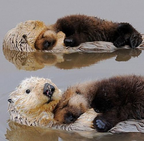 otter love.: Cuteness, Animals, Sweet, Nature, Creatures, Otter Snuggle, Things, Sea Otters