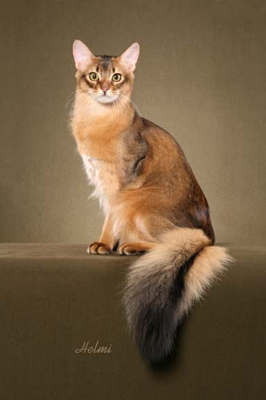The Somali is a cat breed created from long-haired Abyssinian cats. The breed appeared in the 1950s from Abyssinian breeding programs when a number of Abyssinian kittens were born with bottle-brush tails and long fluffy coats. Abyssinians and Somalis shar