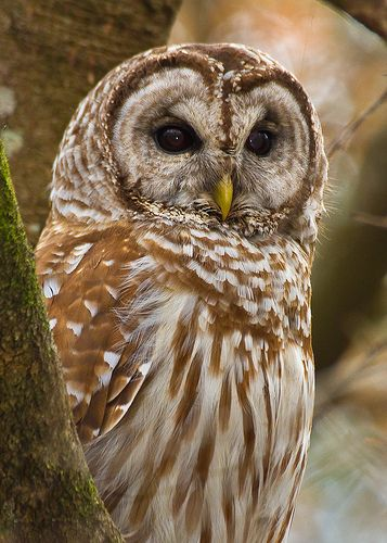Barred Owl - Frances Beidler Forest - South Carolina: Awesome Owls, Animal Kingdom, Barred Owl, Owl Pictures, Photo, Frances Beidler, Animals Fotomix