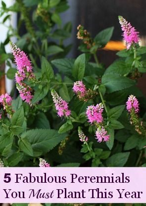 Five fabulous perennials to plant in your garden this year: Garden Ideas, Fabulous Perennials, Gardening Ideas, Garden Flowers, Garden Plants