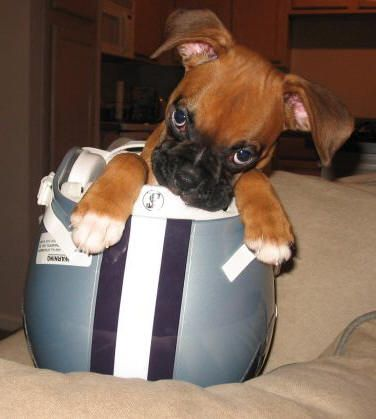 Football boxer dog ;-)  if this is not the cutest thing ever, I do not know what is!: Boxers Best Dogs, Fan Of Boxers, Boxer Dogs, Boxer Love, Puppy, Boxer Babies, Animal