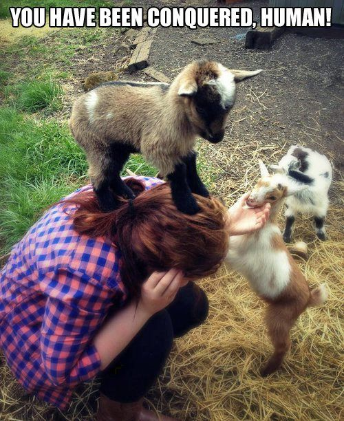 I only pinned this because I have a sudden obsession with goats. I want a pigmy goat!!!!!! I will name it Henry. And it shall be mine. And it shall be my Henry. -km: Babies, Animals, Stuff, Pygmy Goat, Pet, Babygoats, Funny Animal, Baby Goats