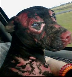 Slideshow: Dog named Hope set on fire while chained (warning, graphic photos) - National General Pets | Examiner.com: Animal Rights, Body Including, Animal Cruelty, Pet, Diy Project, Happy Dogs, Eye