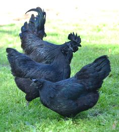 The Ayam Cemani breed of chicken. The tongue and inside  of its mouth are black, along with its skin and feathers. Gorgeous birds that run about $2500 bucks apiece. Earlier this year (2013) eight hatching eggs sold on Ebay for close to $1400.: Cemani Chic