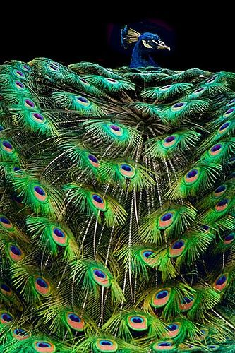 The peacock has got to be one of the most magnificent creatures in creation: Peacock Feathers, Peacocks, Animals, Pretty Peacock, Birds, Peacock, Beautiful Peacock
