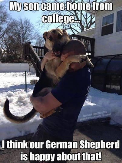 This is what it's like to get home everyday since we got Rusty & Roxy...love it!: Germanshepherd, German Shepards, Dogs, College, German Sheperd, German Shepherds, Animal