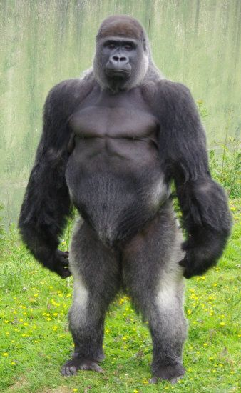 A silver back Gorilla standing.  Another animal that looks like somebody I know.  Lol!!: Silverback Gorilla, Animals, Animal Kingdom, Creature, Ape, Google Search, Primates, Monkey