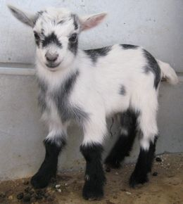 ahhhh!!! look at the little black boots on him. SO CUTE: Farm Animals, Goats Pygmy, Baby Goat Nothing, Animals Quotes, Baby Goat Want, Pygmy Goats, Cute Goats, Baby Goats, Baby Farm