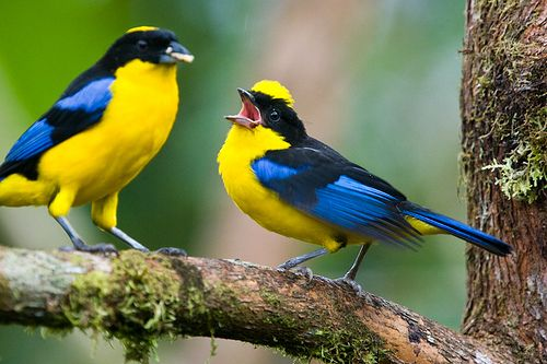 BLUE-WINGED MOUNTAIN TANAGERS (Anisognathus somptuosus) - a common, widespread tanager of lower Andean cloud forests.  It is almost always found in groups of 3 to 10 birds that move quickly through the forest. Their diet consists of seeds, fruits and inse