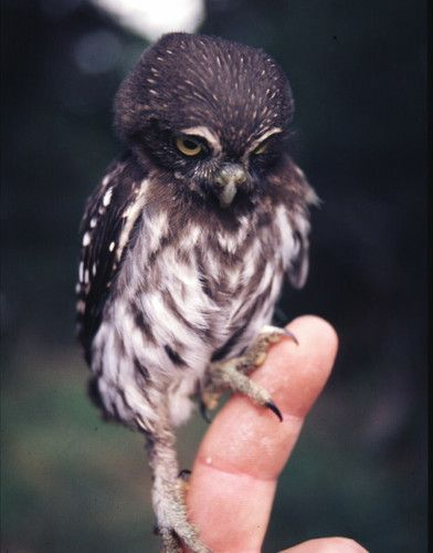everytime my husband asks what i want for my bday, i tell him an owl. But do i have an owl? No.: Babies, Creature, Baby Owls, Pet, Baby Animals, Birds, Babyowl, Tiny Owl