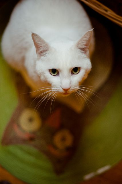 {her white shadow} such a sweet boy.: All White Cats, Kitty Cats, Animal Cuteness, Pet, Animals Group, Baby Cats, Cats Years, Cats White