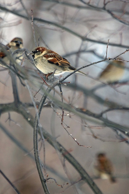 ♪ His eye is on the Sparrow...and I know he watches over me....♪: Birds Beauty, House Sparrows, Birds Hens, Photography Birds, Beautiful Birds, Birds 3