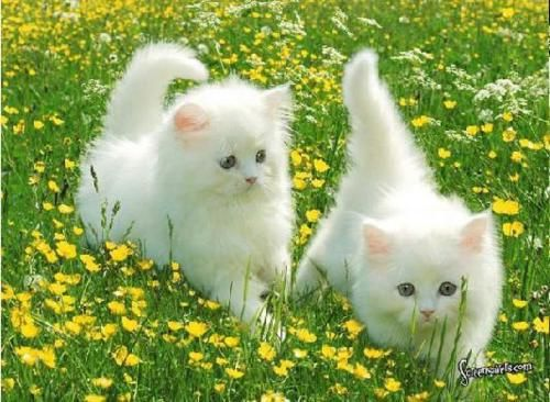 How pretty and cute can they get!! Two sweet little kittens! I post what I love!!: Kitty Cats, Animals, Pets, White Cats, Adorable, Kitties, Friend, Cat Lady, White Kittens