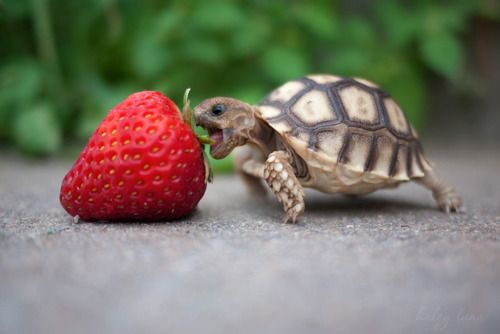 Kevin, the baby tortoise v. the giant strawberry. Go Kevin.: Animals, Pet, Strawberries, Funny, Adorable, Turtles, Things, Nom Nom