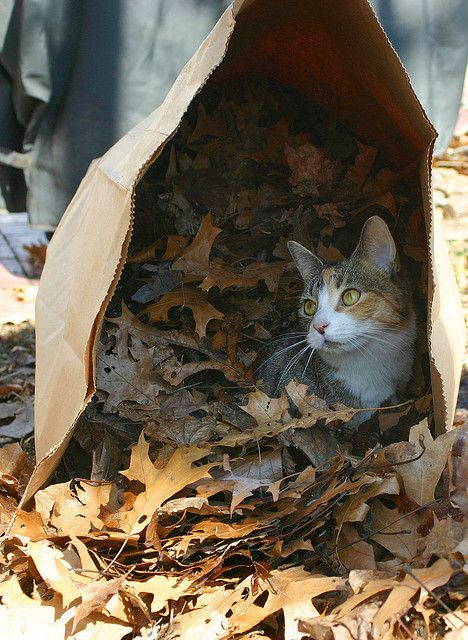 """""""The cat is the only animal that accepts the comforts, but not the bondage of domesticity."""" --Georges Louis Leclerc de Bouffon: Cats, Autumn Cat, Kitty Kitty, Lawn Bag, Baby, Photo, Bags, Animal"""