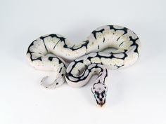 axanthic bumble bee ball python. This is pretty especially when paired with a black ball python...
