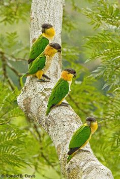 Black-headed Parrots