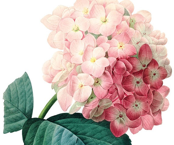 Botanical illustration HYDRANGEA: Tattoo Ideas, Sweet Flower, Illustration Hydrangea, Botanical Illustrations, Flower Illustrations, Hydrangea Tattoos, Hydrangea Illustration, Art Flowers, Hydrangeas