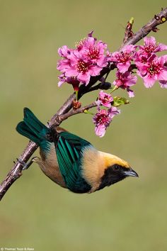 Burnished-buff or Rufous-crowned Tanager - N.Guianas, most of Venezuela EC Colombia, Brazil, Paraguay NE.Argentina, very locally in Bolivia Peru