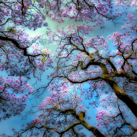 Jacaranda trees at Hyde Park with a breeze and long exposure due to neutral density filters - by Andrew Davoll: Blue Sky, Nature, Beautiful, Blue Skies, Trees, Photo, Blossoms