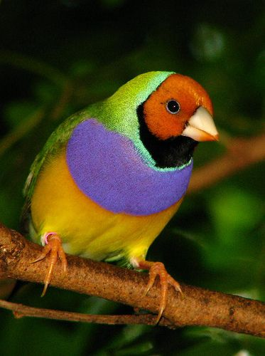 Lady Gouldian Finch-Australia: Lady Gouldian, Colorful Birds, Australian Birds, Birds Butterflies, Colorful Australian, Gouldian Finches, Beautiful Birds, Animal