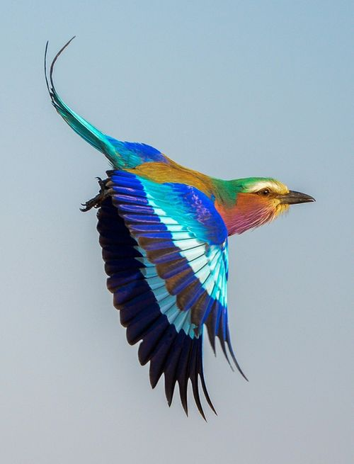 ♫ Lilac Breasted Roller: Rollers, Animals, Color, South Africa, Flying Roller, Beautiful Birds, Photo