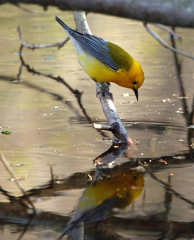 Prothonotary Warbler        (photo by Larry Bond): Reflection, Larry Bond, Prothonotary Warbler, Warbler Photo, Warblers Birds, Birds Warblers, Beautiful Birds