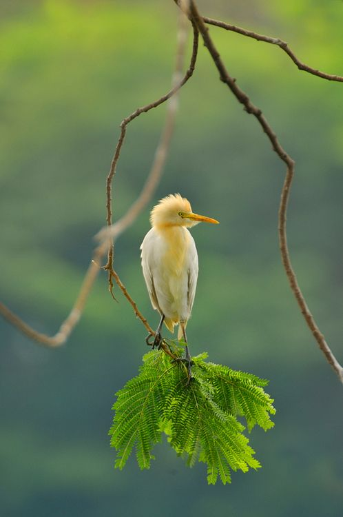 Cattle Egret ~ Originally native to parts of Asia, Africa and Europe, it has undergone a rapid expansion in its distribution and successfully colonised much of the rest of the world.: Animals, Beautiful Birds, Cattle Egret, Photo, Ave, Bird Watching