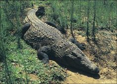 Largest Crocodile Ever | There are also some claims that the largest crocodile ever came from ...
