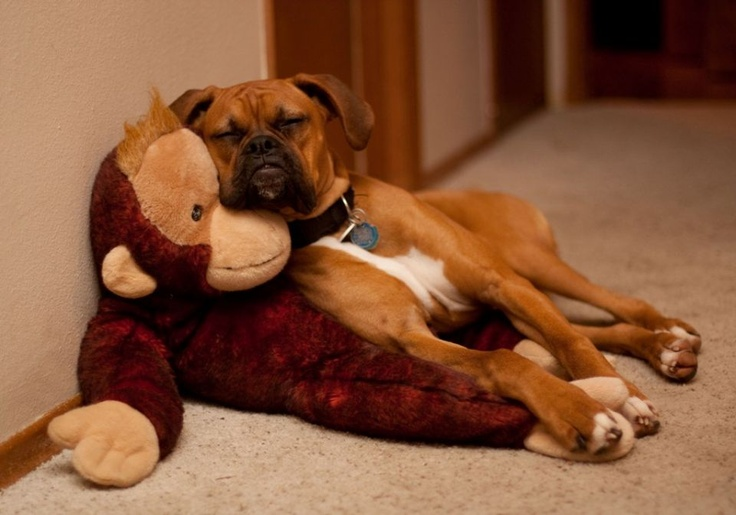 The only time the monkey is good.....under the back.: Boxer Pup, Luv Boxers, Boxer Dogs, Boxers Big, Boxer Napping, Boxers Love, Boxers Rock, Nap With A Friend Jpg