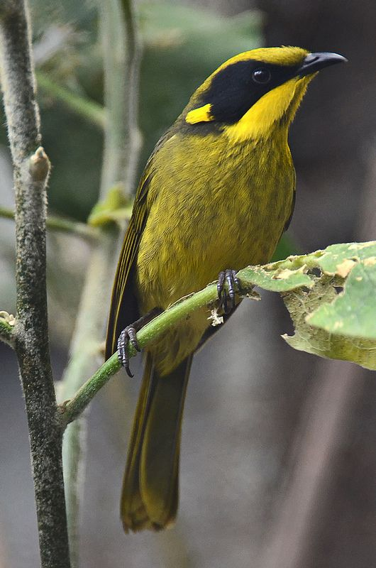 The Yellow-tufted Honeyeater (Lichenostomus melanops) is a passerine bird found in the south-east ranges of Australia from south-east Queensland through eastern New South Wales and across Victoria into the tip of Southeastern South Australia.: Colorful Bi