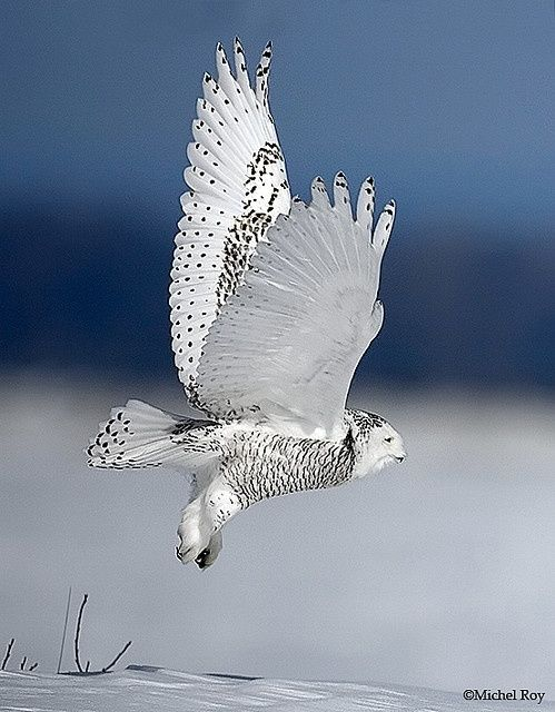Beautiful white owl: Animals, White Owls, Owl Photo, Beautiful, Snow Owl, Birds, Snowy Owl