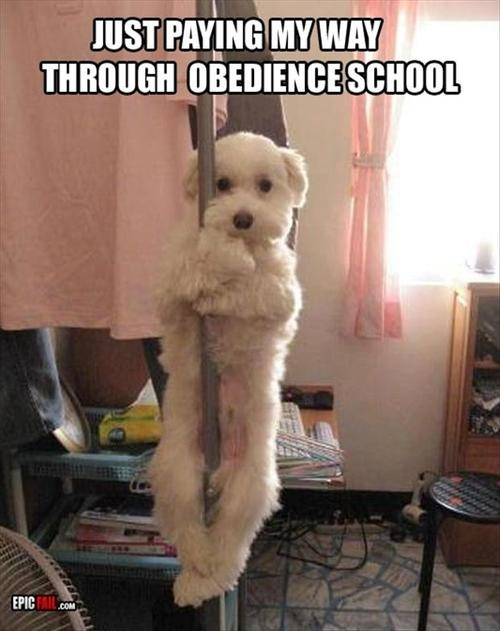 I laughed really hard at this for a while.: Pole Dancing, Animals, Dogs, Stuff, Obedience School, Pet, Funny, Funnies