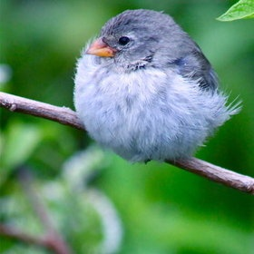 Oh my gosh this little bird looks like a fuzzy cotton ball! :): Fat Birds, Little Birds, Birds Birds Birds, Beautiful Birds, Like Pets Birds Animals, Angry Birds