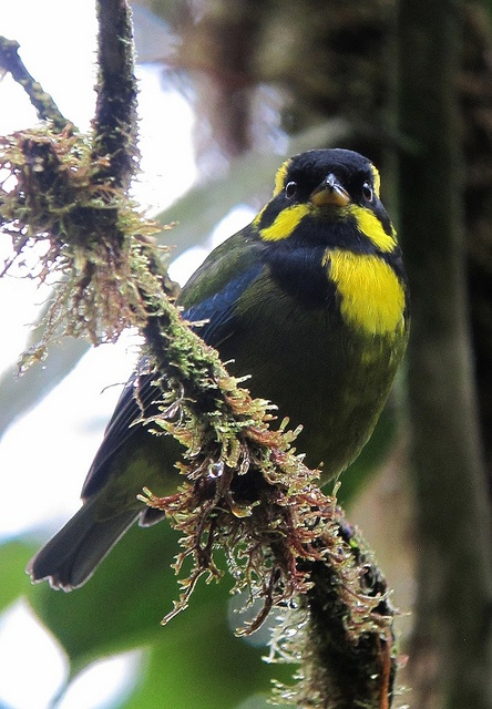The Gold-ringed Tanager (Bangsia aureocincta) is a species of bird in the Thraupidae family. It is endemic to Colombia.: Exotic Birds, Gold Ringed, Avian, Birds Insects Butterflies, Bangsia Aureocincta, Beautiful Birds, Animals Birds, Amazing Birds