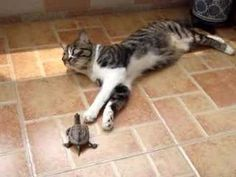 The turtle totally loves the cat but the cat is NOT interested. So cute.