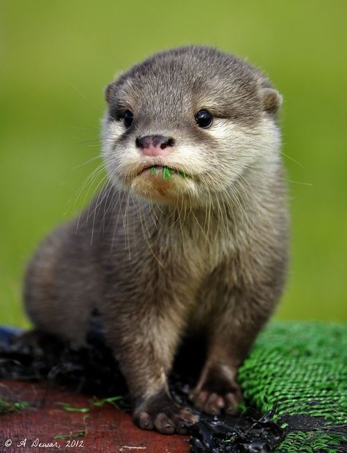 Did we already pin this guy, or do all otters just look equally cute? I like how he is eating some of the green stuff.: Animal Pictures, Critters, Baby Otters, Favorite Animal, Baby Animals, Photo