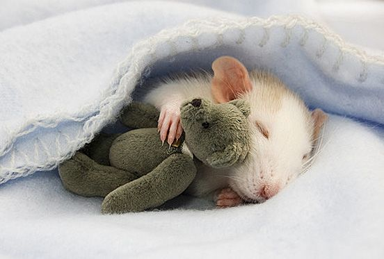 Google Image Result for http://thedesigninspiration.com/wp-content/uploads/2009/09/cute-animals/baby17.jpg: Mice, Animals, Sweet, Teddybear, Teddy Bears, Pet, Photo, Rats