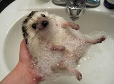 I didn't know I wanted a hedgehog...but apparently I do...