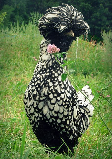 Ok, if I ever get to keep chickens...this is the one I want!...that is, if it is a chicken???: Animals, Laced Polish, Silver Polish, Polish Chicken, Silver Laced, Birds
