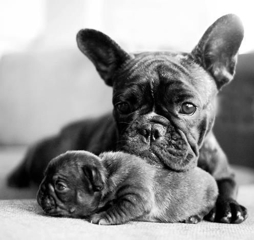Proud Mom and her French Bulldog Puppy.: Baby Frenchie, Animals, Frenchie Mom, French Bulldog With Baby, Black French Bulldogs, Puppy, French Bulldog Puppies, New Moms