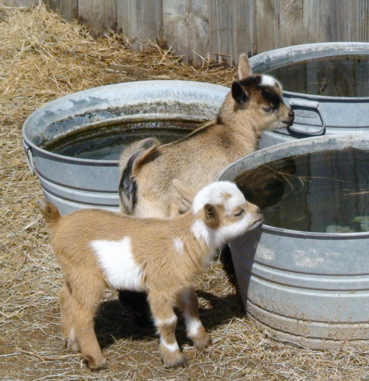 pygmy goats: Farm Animals, Babies, Adorable Animals, Farm Life, Country Living, Pygmy Goats, Baby Animals, Baby Goats, Kid