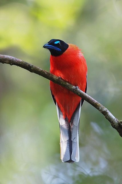 Scarlet-Rumped Trogon bird: Bird Grumpy Faced, Poultry, Птици 3 Birds, Feathered Friends3, Beautiful Birds, Birds Others Animals, Parrots Trogons And Mousebirds, Scarlet Rumped Trogon