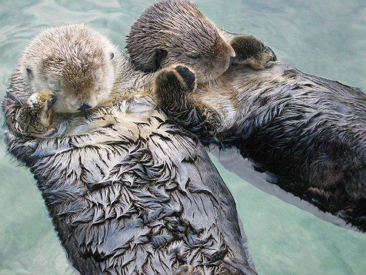 Sea otters hold hands when they sleep so they don't lose each other - aww!: Animals, Hold Hands, Holdhands, Otters Hold, Seaotter, Don T Drift, Sea Otters, Holding Hands
