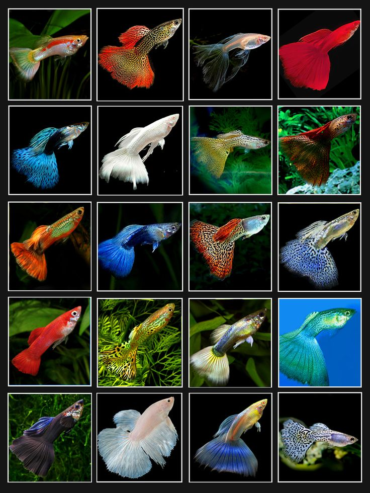 Varieties of Guppies.    See more related fish videos at http://www.yourpetclip.com/channel/27/fish-videos/: Betta, Fish Tanks, Pet, Aquariums, Aquarium Fish, Fresh Water Fish Tank, Aquarium