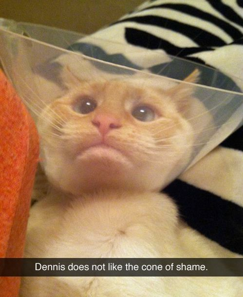 Well, if you wouldn't chew your stitches you wouldn't be in this mess: Cats, Funny Animals, Giggle, Funny Pictures, Poor Thing, Funnies, Poor Dennis, Cat Lady